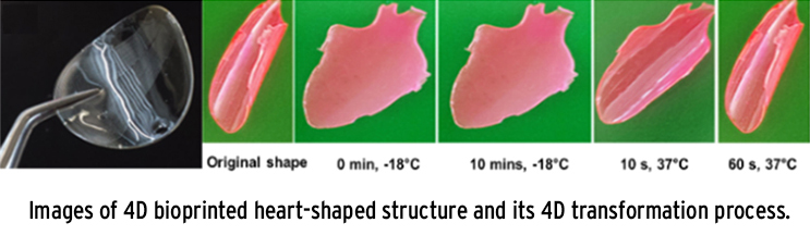 Images of 4D bioprinted heart-shaped structure and its 4D transformation process.